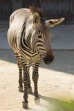 Hartmann´s  zebra,Equus zebra hartmannae Royalty Free Stock Image