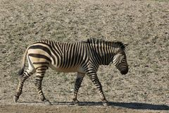 Hartmannae 1 зебры Equus зебры горы ` s Hartmann Стоковое фото RF