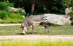 Hartmannae för sebra för Equus för sebra för berg för Hartmann ` s royaltyfria foton