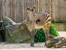 Hartmanns halna zebra w zbli?eniu, Podatny zwierz?cy specie od Namibia i Angola w Afryka, obraz royalty free