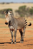 Hartmanns Mountain Zebra Royalty Free Stock Photography