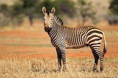 Hartmanns Mountain Zebra Royalty Free Stock Photos