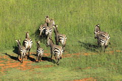 Hartmanns Mountain Zebras Royalty Free Stock Photo