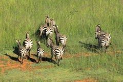 Hartmanns Mountain Zebras Royalty Free Stock Photo
