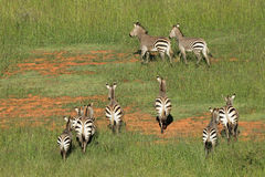 Hartmanns Mountain Zebras Royalty Free Stock Image