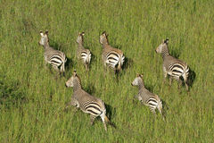 Hartmanns Mountain Zebras Royalty Free Stock Images