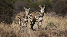 Hartmanns Mountain Zebras. Two Hartmanns Mountain Zebras (Equus zebra hartmannae), southern Africa stock video