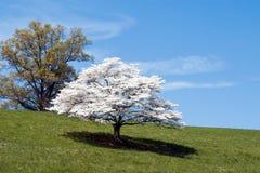 Hartriegel-Baum stockbild