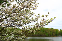 Hartriegel-Baum durch See Lizenzfreies Stockbild