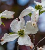 Hartriegel-Blüte Stockfoto