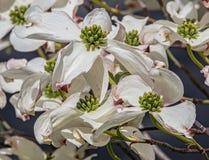 Hartriegel-Blüten im Frühjahr Stockfoto