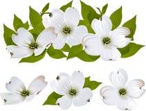 Hartriegel-Blumen Lizenzfreies Stockbild