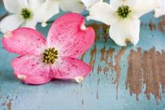 Hartriegel-Blumen Lizenzfreies Stockfoto