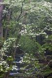 Hartriegel im rauchiger Gebirgsnationalpark Lizenzfreie Stockfotografie