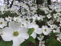Hartriegelbaum in der Blüte Stockbild