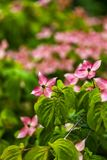 Hartriegelbaumblumen Lizenzfreies Stockfoto