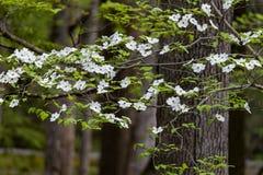 Hartriegelblüten an ihrer Spitze Stockfotografie