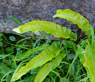 Harts Tongue Fern Royalty Free Stock Photography