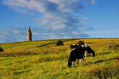 Hartshead cattles stock photos