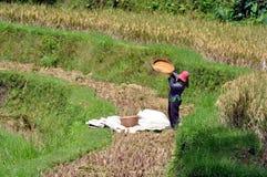 Harverst in een padieveld in Bali stock afbeeldingen