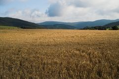 After the harvest. Yellow wheat fields after the harvest under a stormy sky stock images