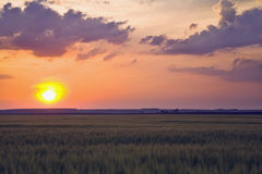 Before harvest. Orange colored sunset on a corn field Royalty Free Stock Photo