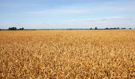 Harvest-2012. Wheat field background. Stock Photo