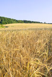 Harvest. Field of ripe wheat on a hill Royalty Free Stock Photography