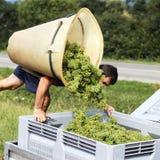 Harvest. Farmer harvesting the grapes during the harvest stock image
