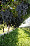 Harvest. An image of fresh blue grapes in the vineyard stock images