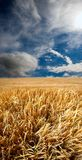Before harvest. A photo of a corn field and evening sky before harvest Stock Photo