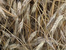 Harvest. Sheaves of wheat stock images