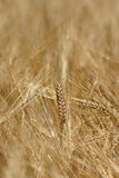 Harvest. Field of barley in autumn Royalty Free Stock Images