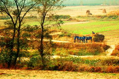 Harvest. Gain crops peasant and carriage in course of in field Royalty Free Stock Images