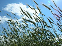 Harvest. Crops on a field stock image