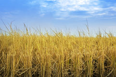 Harvest. Paddy rice fields after harvesting Royalty Free Stock Photo