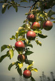 Harvest. 7 apples on one branch Stock Images