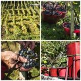 Harvest in alpines vineyards Stock Photos