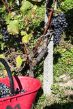 Harvest in alpines vineyards Royalty Free Stock Photos