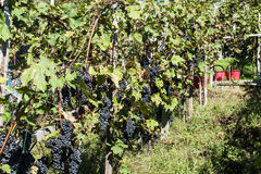 Harvest in alpines vineyards Royalty Free Stock Photo