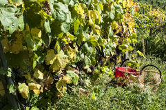 Harvest in alpines vineyards Royalty Free Stock Images
