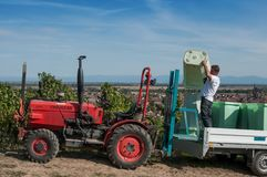 Harvest in alsatian vineyard with tractor Stock Photo