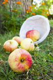 Harvest apples stock images