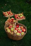 Harvest of apples. Gathered into basket and boxes, that are standing in a garden Royalty Free Stock Images