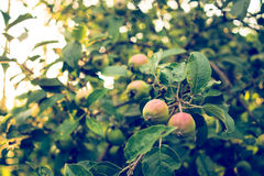 Harvest of apples. The Apple tree in the beam of the evening sun Stock Photography