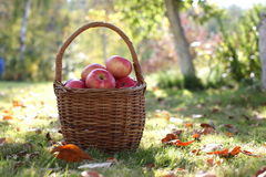 Harvest, apples in basket Stock Images