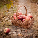Harvest of apples Royalty Free Stock Photography