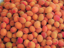 The harvest of apricots Stock Images