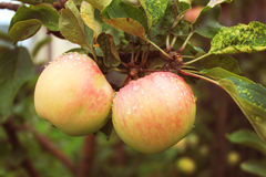 The harvest of autumn apples are finally ripe. Apples are pleasing to the eye in the garden Stock Photography