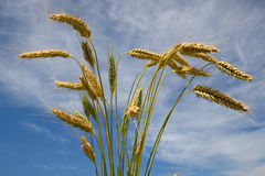 After the harvest. A background of a sheaf of triticale against a summer sky. Triticale is a hybrid of wheat (Triticum) and rye (Secale)  typically grown for Royalty Free Stock Photo